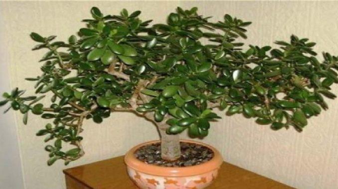 Zamioculcas zamiifolia - rastlina peaz a astia - Dobr